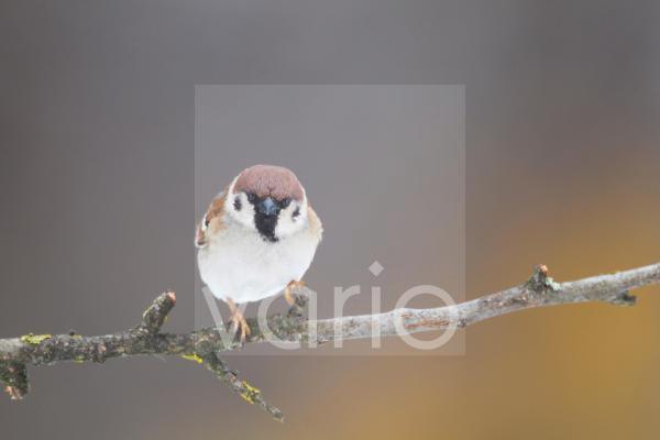 Eurasian Tree Sparrow (Passer montanus) adult, perched on twig, Bulgaria, january