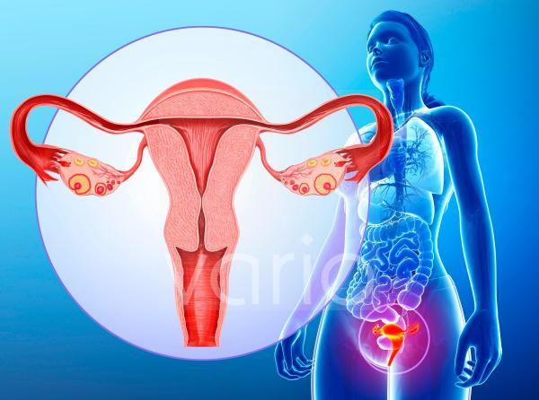 Female reproductive system, illustration