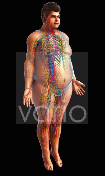 Vascular and nervous system, illustration
