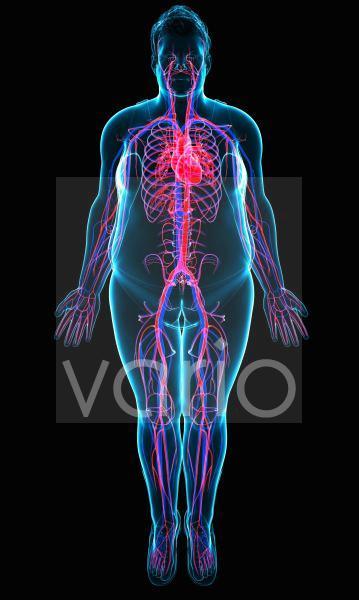 Human cardiovascular system, illustration