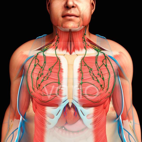 Human anatomy of the chest, illustration