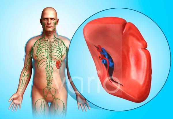Human spleen, illustration