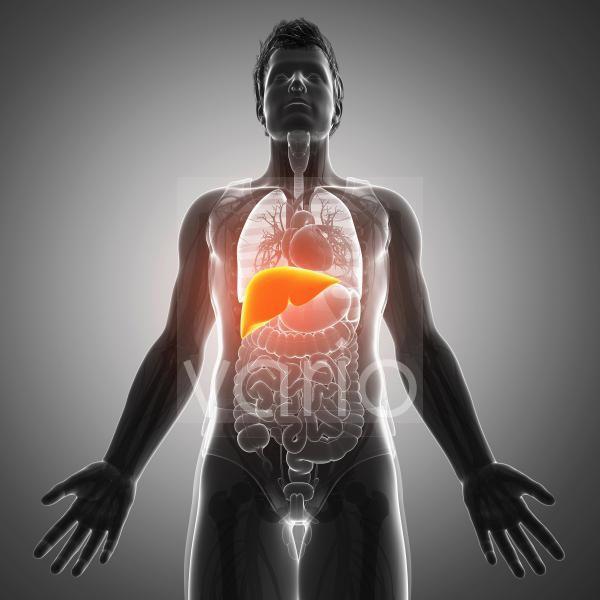Human liver, illustration