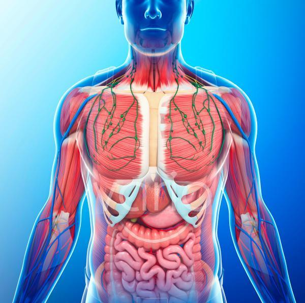 Human internal anatomy, illustration