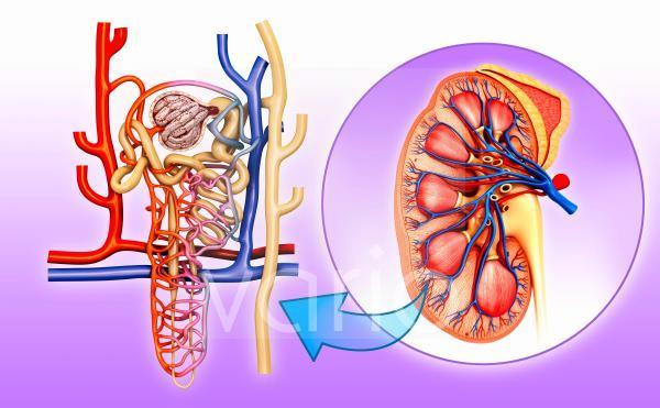Nephrons of human kidney, illustration