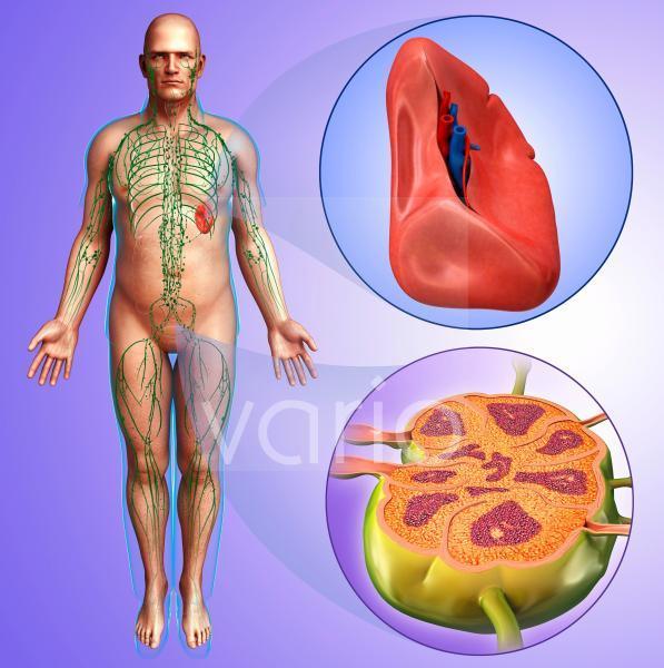 Human spleen and lymph node, illustration