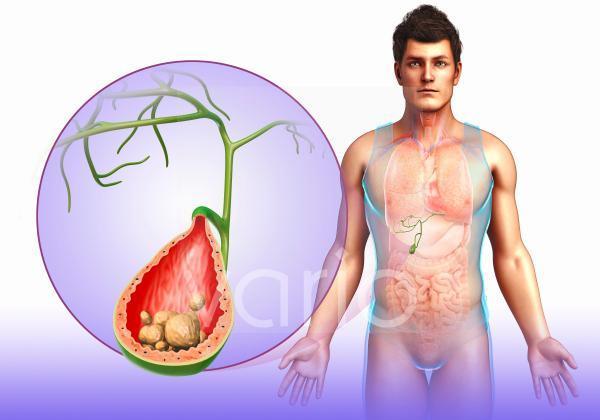 Human gall bladder, illustration