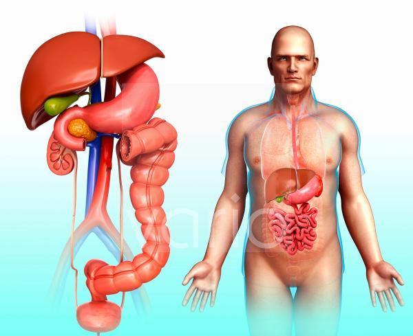 Human internal organs, illustration