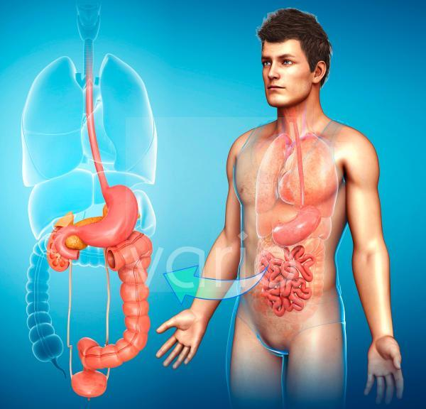 Human large intestine, illustration
