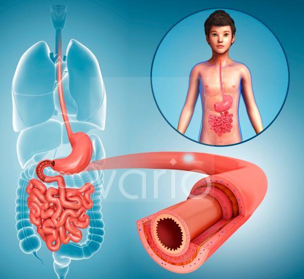 Human small intestine, illustration
