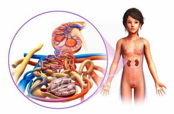 Human kidney, illustration