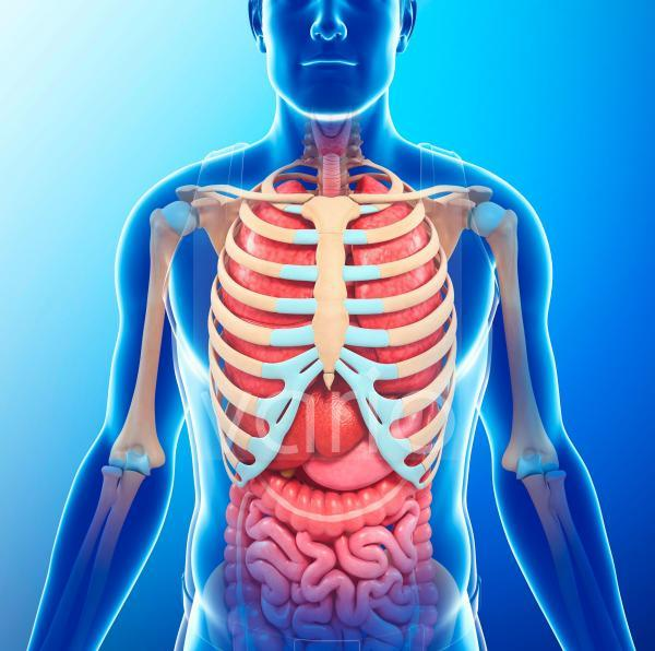 Human chest anatomy, illustration