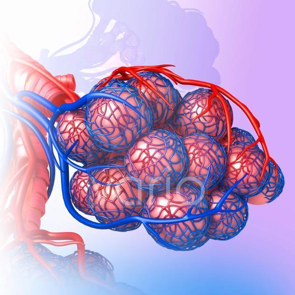 Alveoli of the human lung, illustration