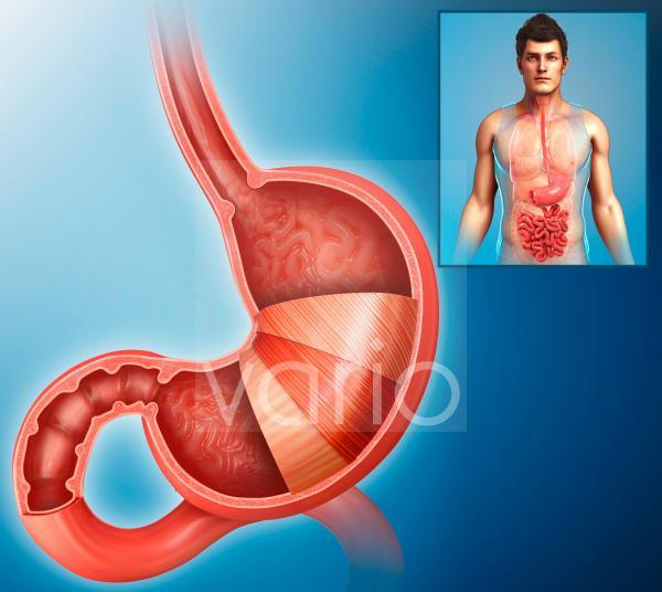 Human stomach, illustration