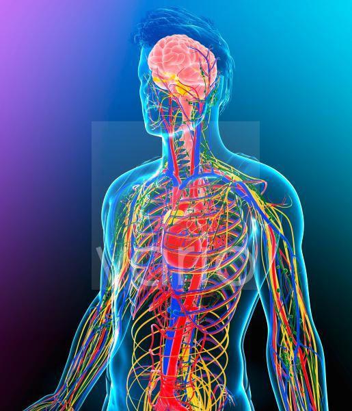 Human internal systems, illustration