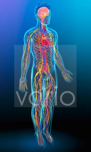 Human circulatory system, illustration