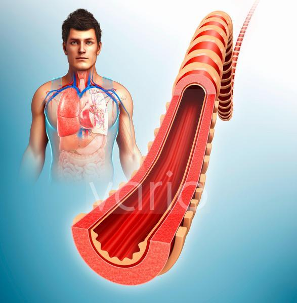 Bronchus of the human lung, illustration