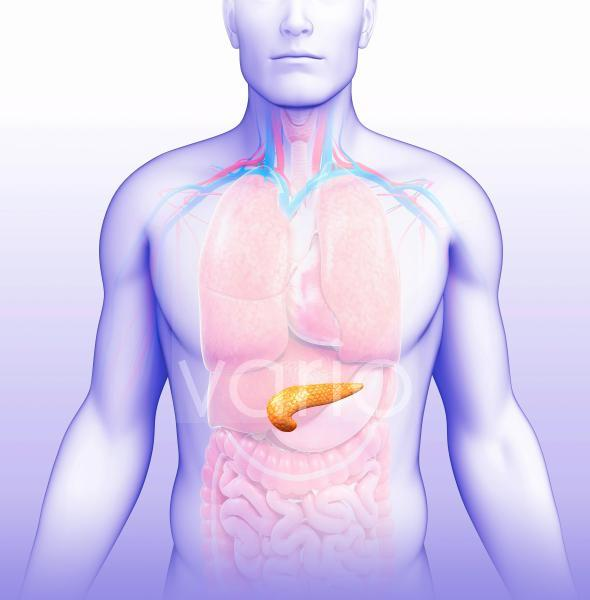 Human pancreas, illustration