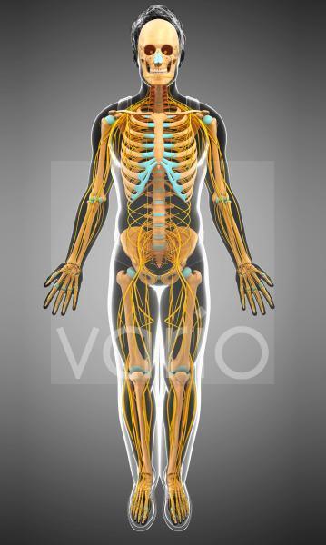 Nervous and skeletal system, illustration