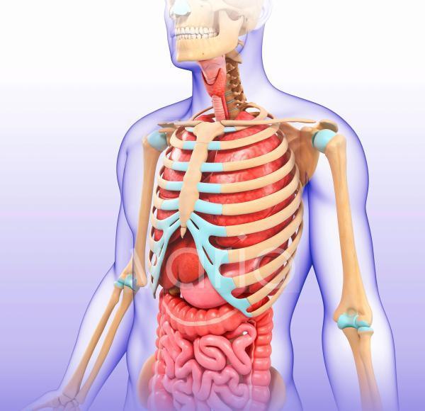 Anatomy of the human chest, illustration
