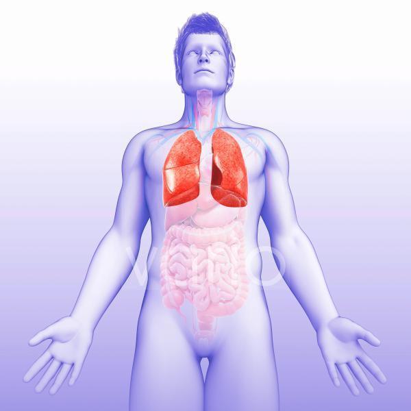 Human lungs, illustration