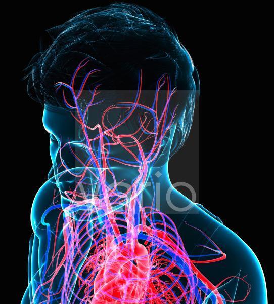 Head circulatory system, illustration