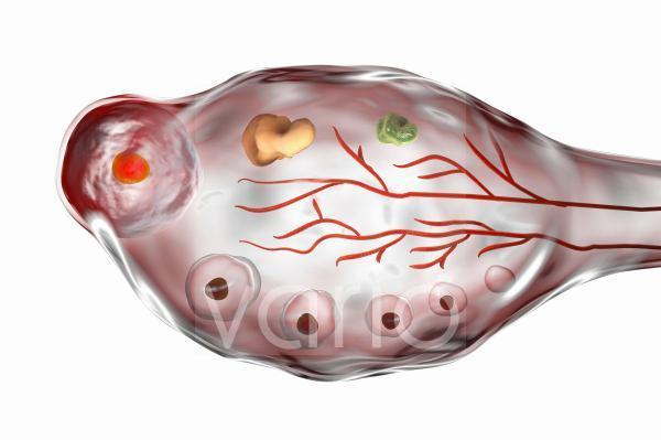 Ovarian cycle, illustration