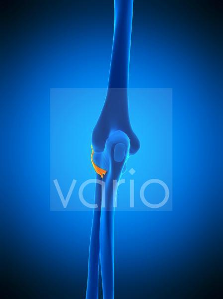 Elbow ligament, illustration