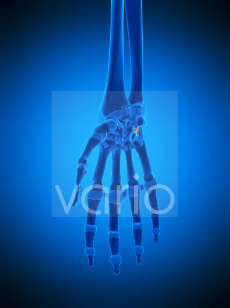 Hand ligament, illustration