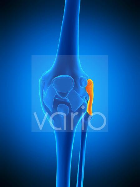 Knee ligament, illustration
