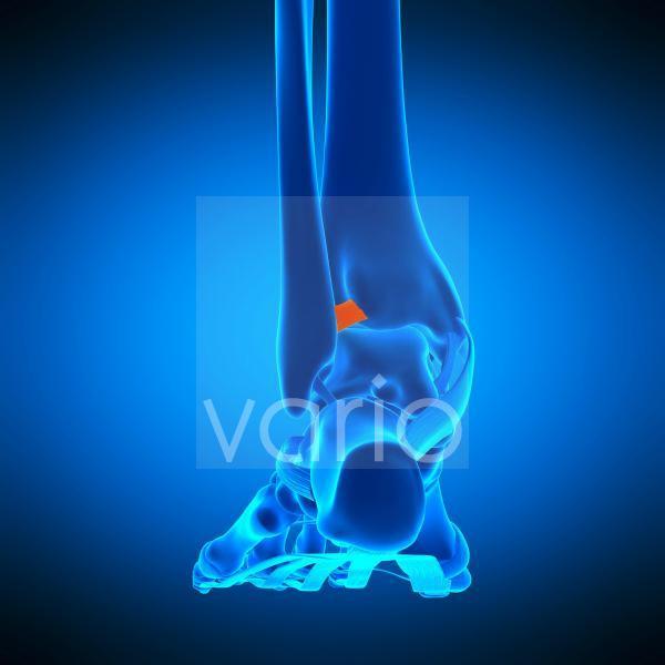Ankle ligament, illustration