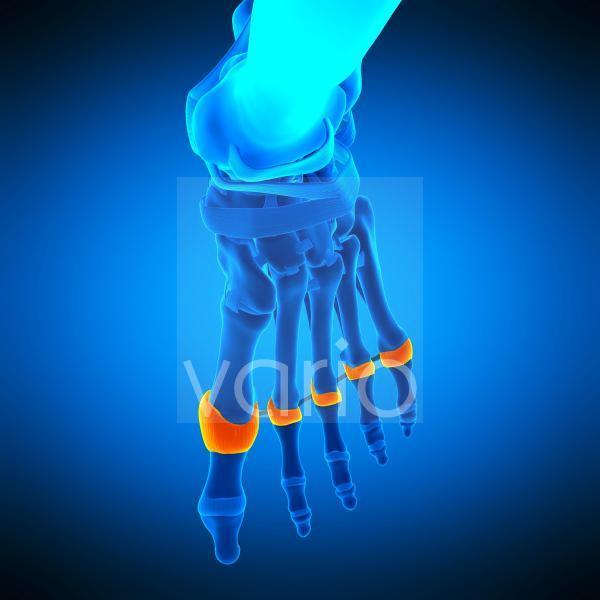 Toe joint capsules, illustration