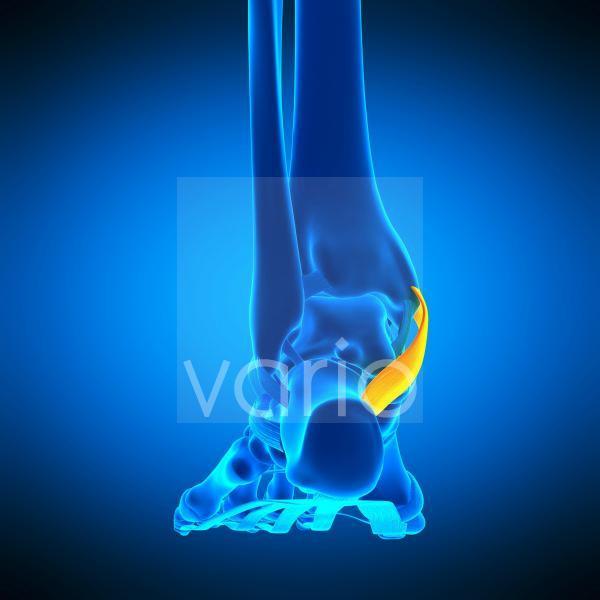 Foot ligament, illustration