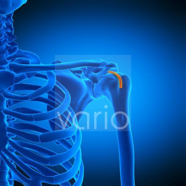 Shoulder tendon sheath, illustration