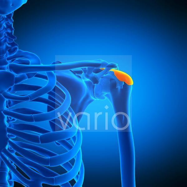 Shoulder bursa, illustration