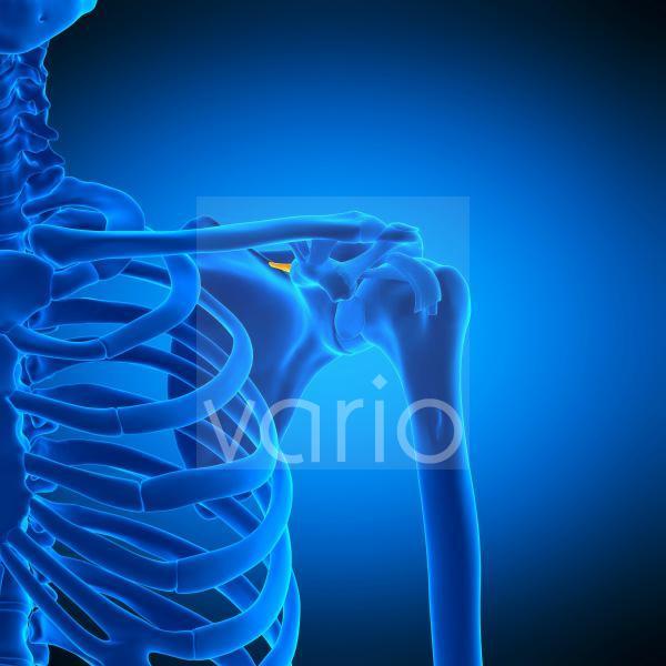 Shoulder ligament, illustration