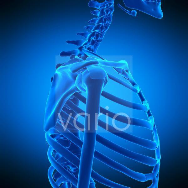 Shoulder ligaments, illustration