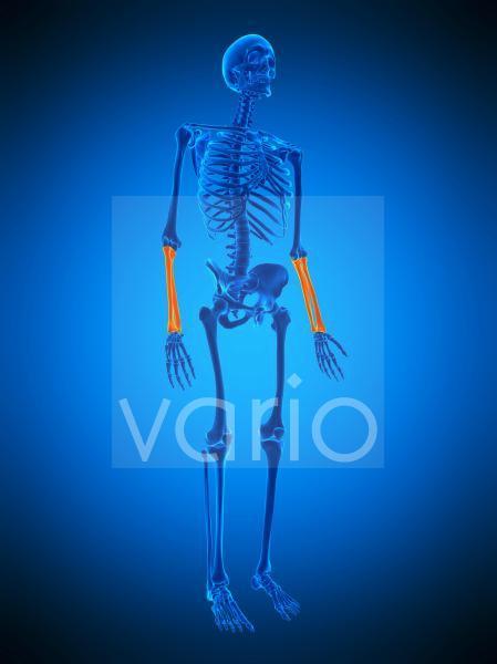 Lower arm bones, illustration