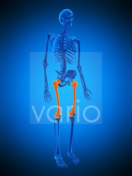 Thigh bones, illustration