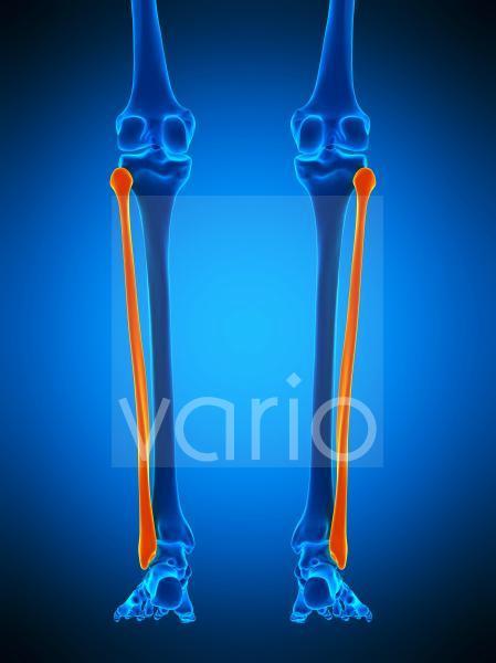 Lower leg bones, illustration
