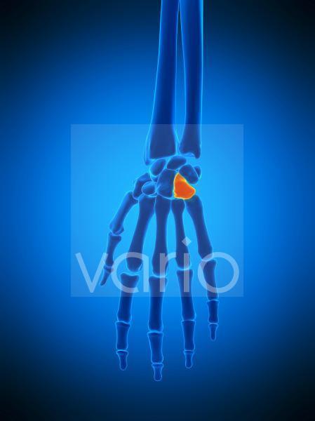 Hand bones, illustration