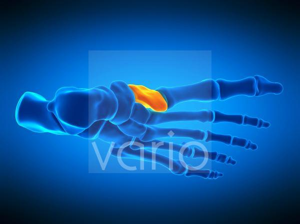 Foot bone, illustration
