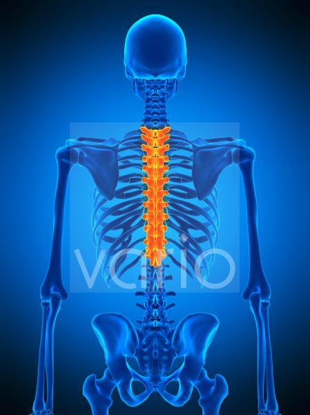 Thoracic spine, illustration