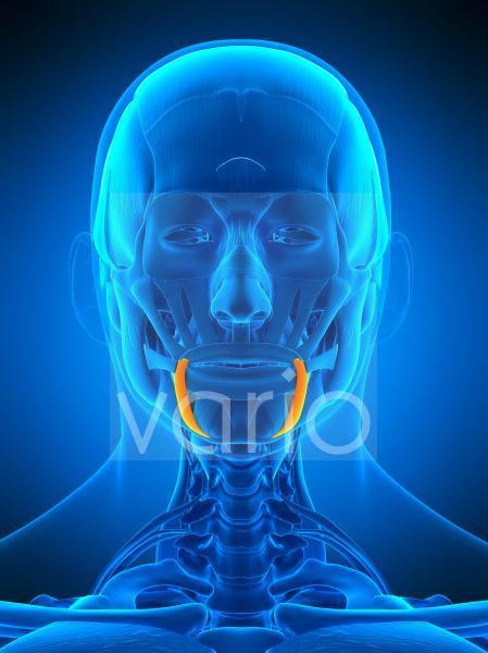 Facial muscles, illustration