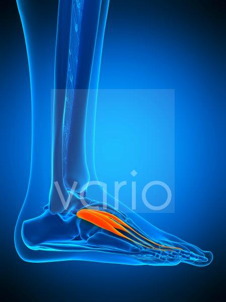 Foot muscle, illustration
