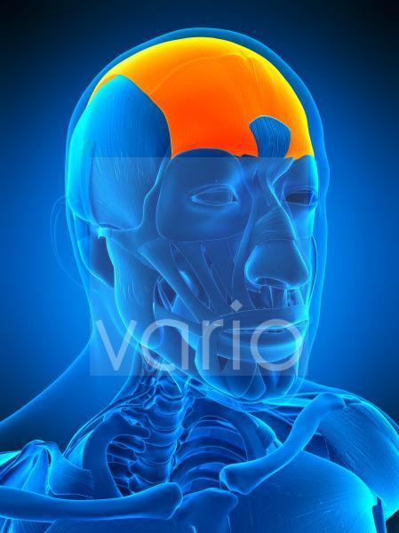 Head muscle, illustration