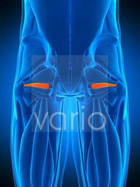 Hip muscle, illustration