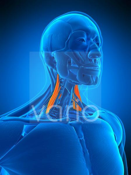 Neck muscles, illustration