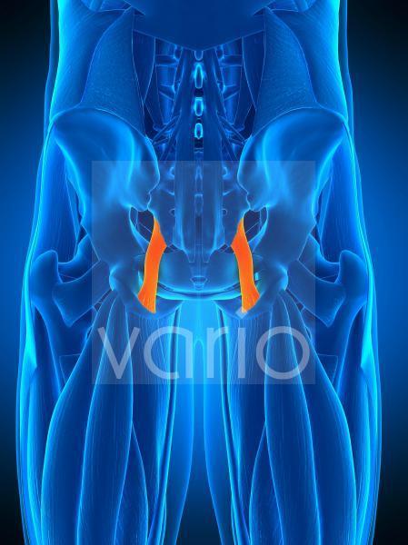 Hip ligament, illustration