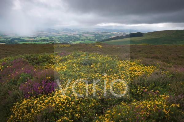Western Gorse in flower on Hurley Beacon in the Quantock Hills Area of Outstanding Natural Beauty with rainfall on the Brendon Hills beyond.